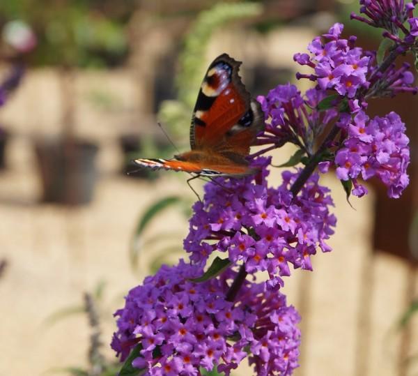Black Knight Sommerflieder Schmetterlingsstrauch