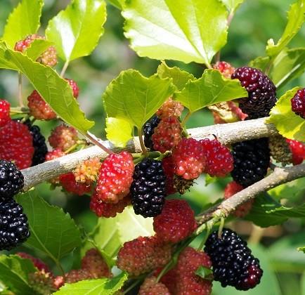 Mojo Berry - Zwerg-Maulbeere