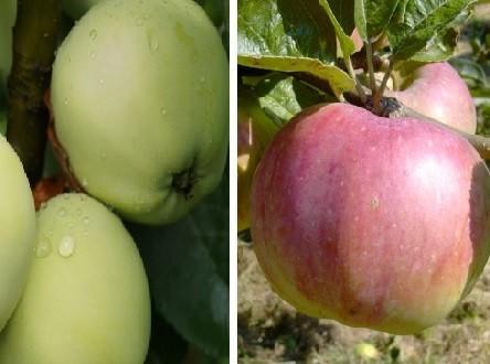 Duo-Apfelbaum Ontario & Weißer Klarapfel
