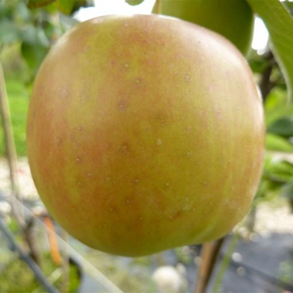Apfel - Ahrista ?