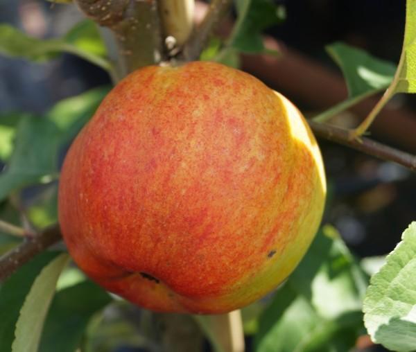 Apfel Geheimrat Oldenburg