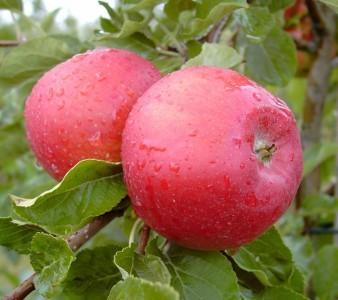 Apfel - Santana ® -allergikergeeignet-