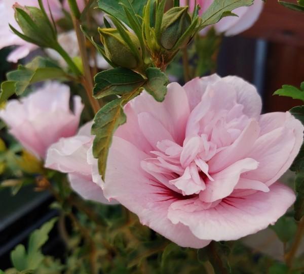 Hibiskus Pink Chiffon