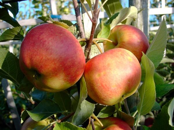 Apfel - Elstar ®