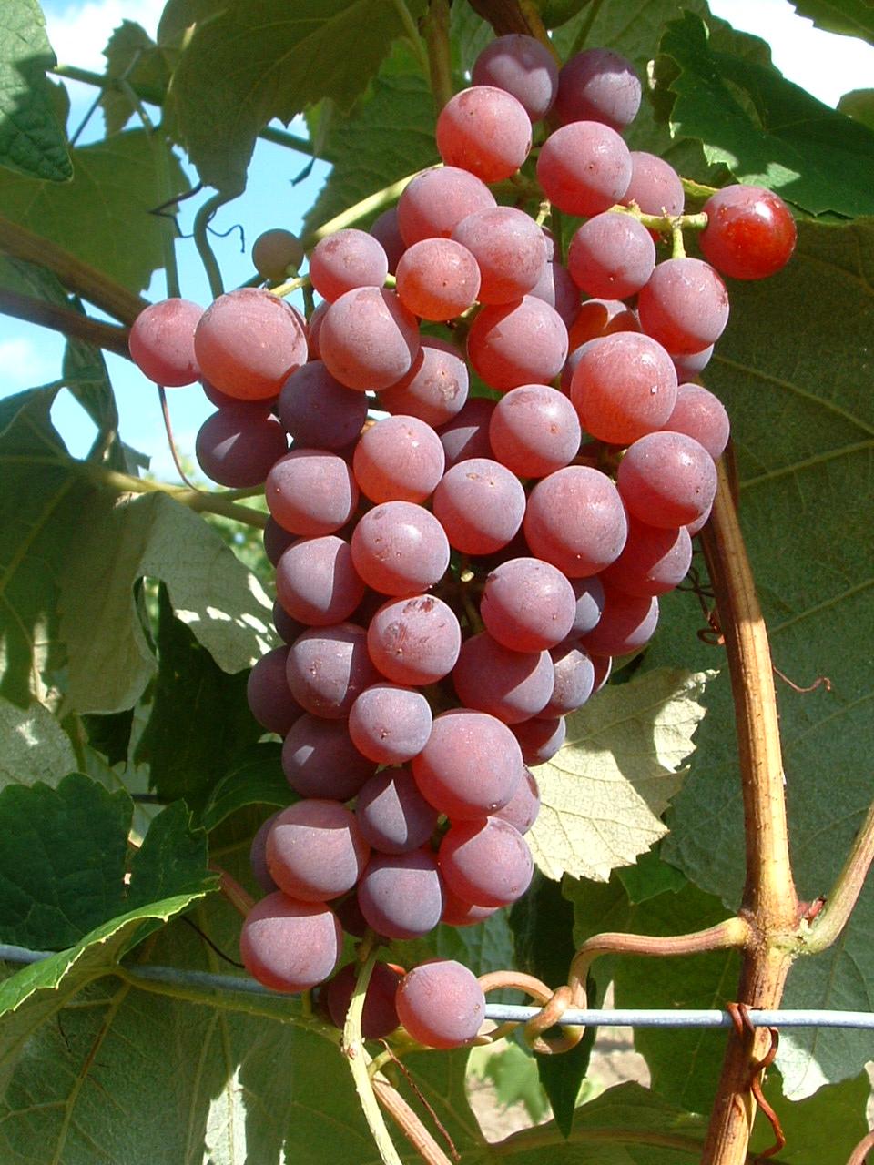Aromatische Weintraube für alle Lagen