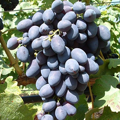 Weinrebe mit großen Weintrauben