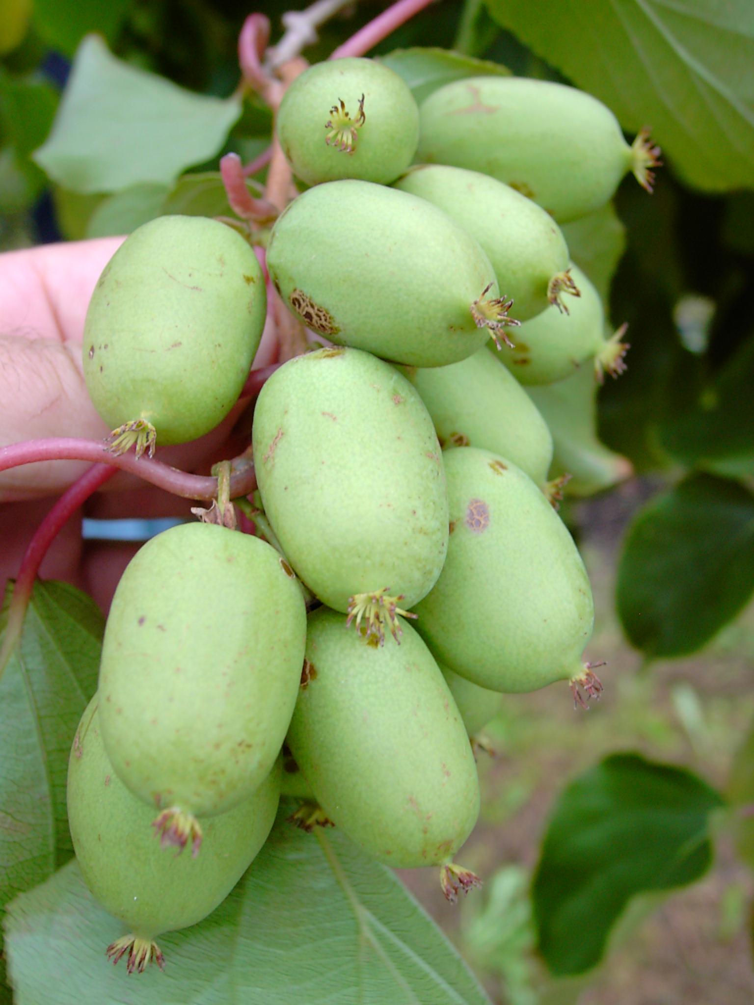 Kleinfruchtige, aromatische Kiwi