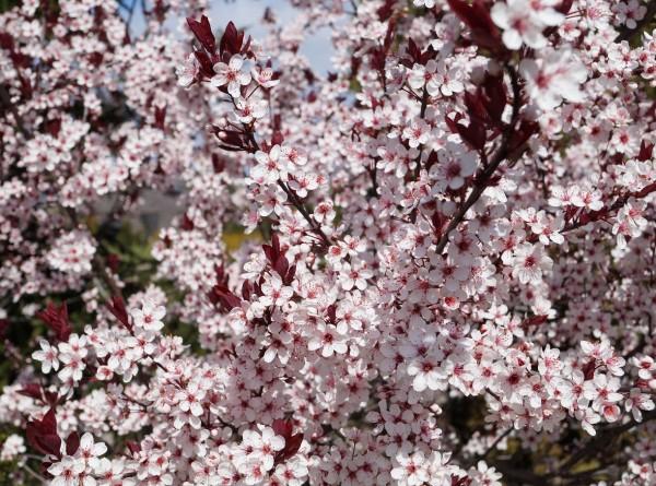 Zwergblutpflaume im April