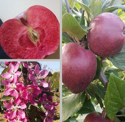 Rotfleischiger Apfel
