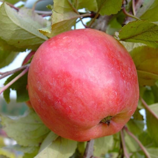 Apfel - Piros ®