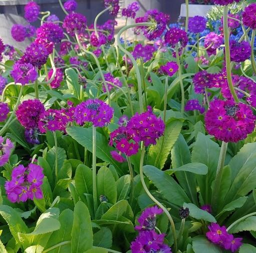 Kugelprimel violett