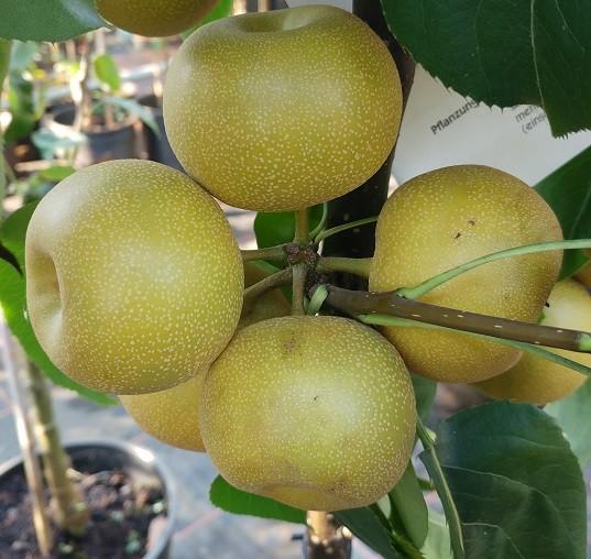 Kosui Frucht