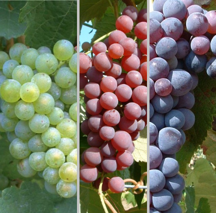 Weintrauben-Set für den Hausgarten