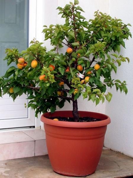 Zwerg-Aprikose `Garden Aprigold® ´