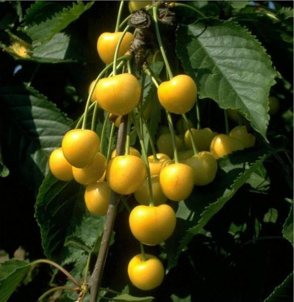 Dönissen´s Gelbe Knorplekirsche
