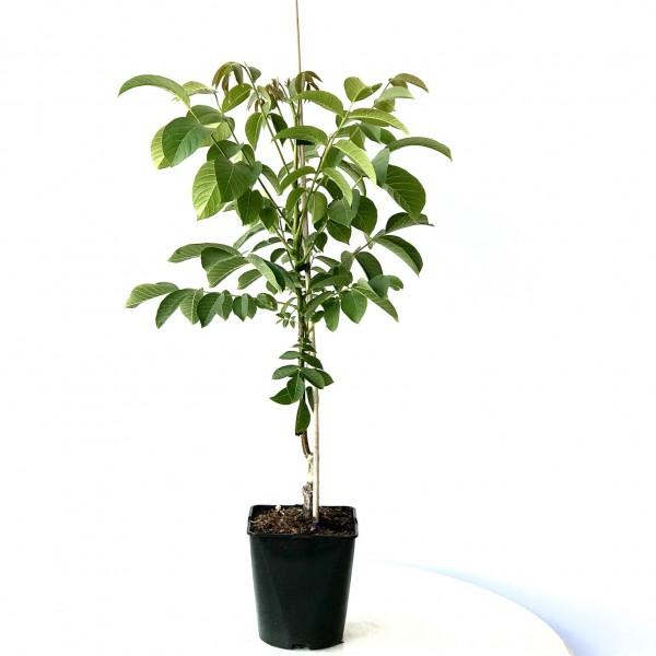 Zwerg-Walnuss `Mini Multiflora Nr. 14´ im 5 Liter Topf