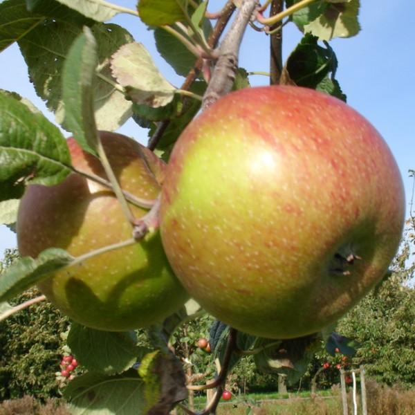 Apfel - Große Kasseler Renette